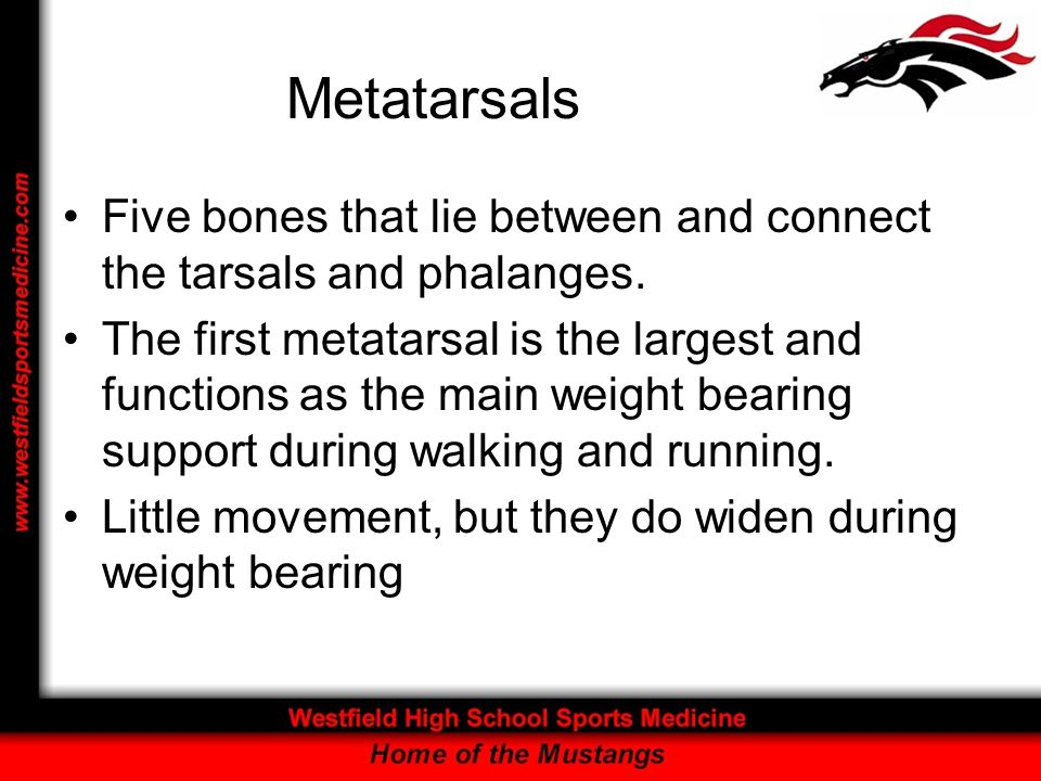 Metatarsals Five bones that lie between and connect the tarsals and phalanges.
