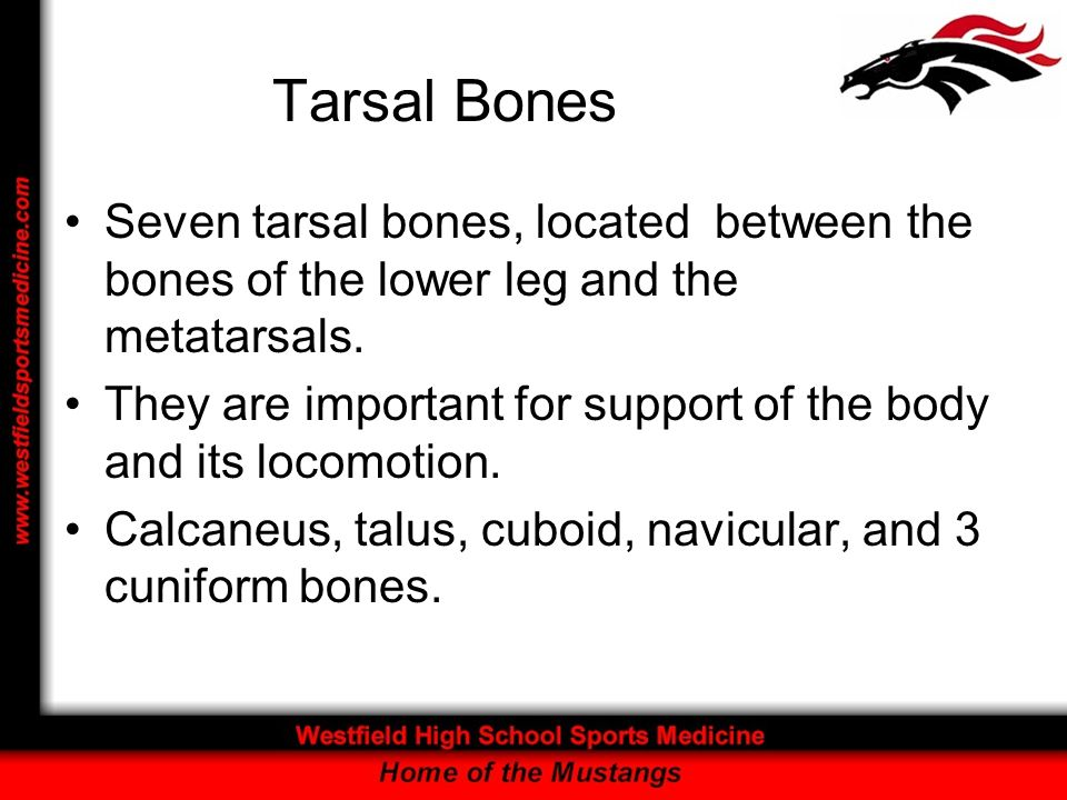 Tarsal Bones Seven tarsal bones, located between the bones of the lower leg and the metatarsals.