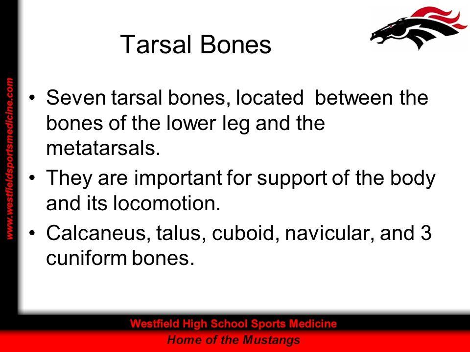Tarsal BonesSeven tarsal bones, located between the bones of the lower leg and the metatarsals.