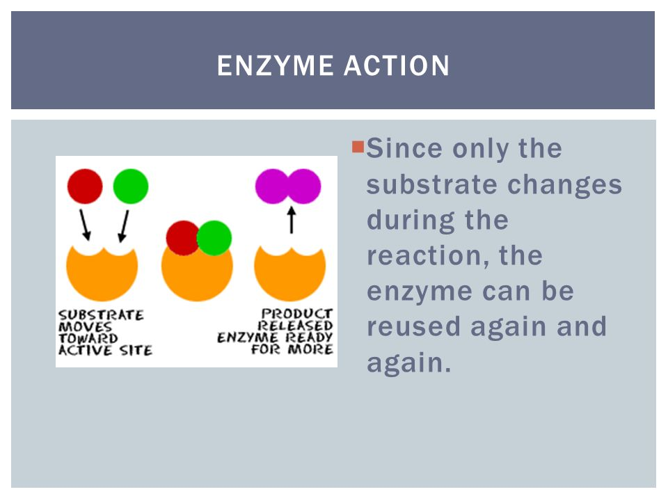 Enzyme Action Since only the substrate changes during the reaction, the enzyme can be reused again and again.