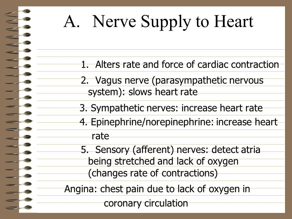 A. Nerve Supply to Heart 1. Alters rate and force of cardiac contraction. 2. Vagus nerve (parasympathetic nervous system): slows heart rate.
