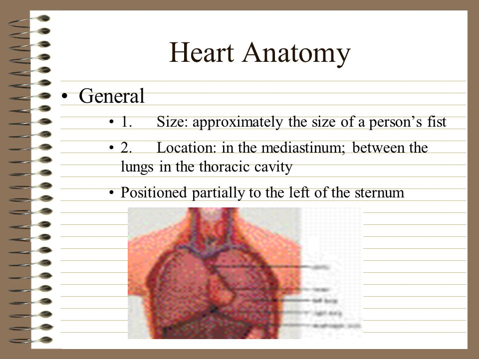Heart Anatomy General. 1. Size: approximately the size of a person's fist.