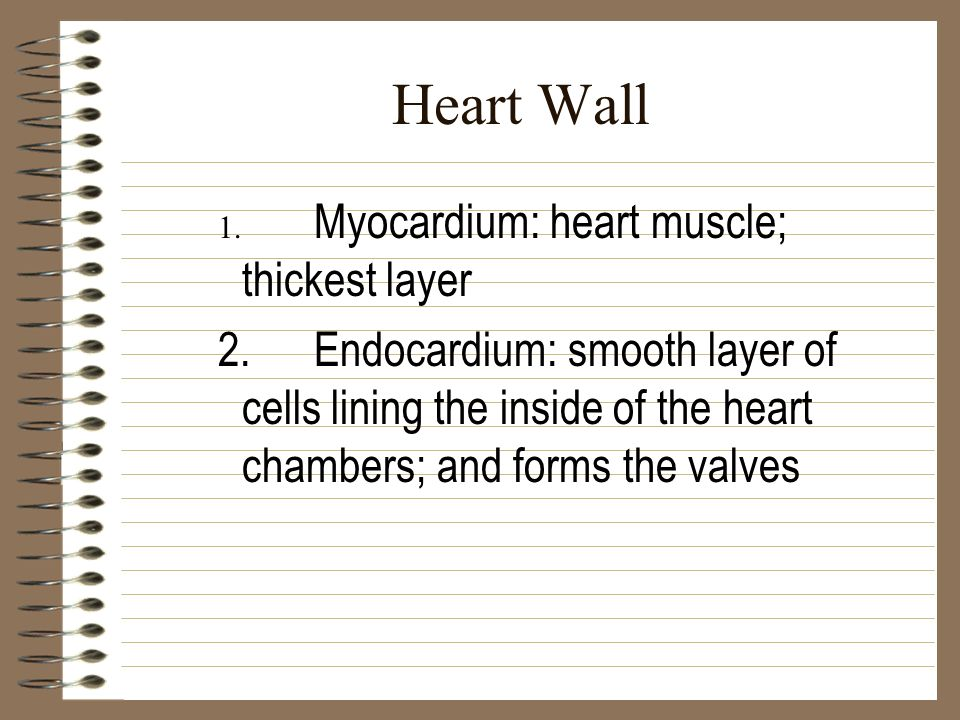 Heart Wall 1. Myocardium: heart muscle; thickest layer.