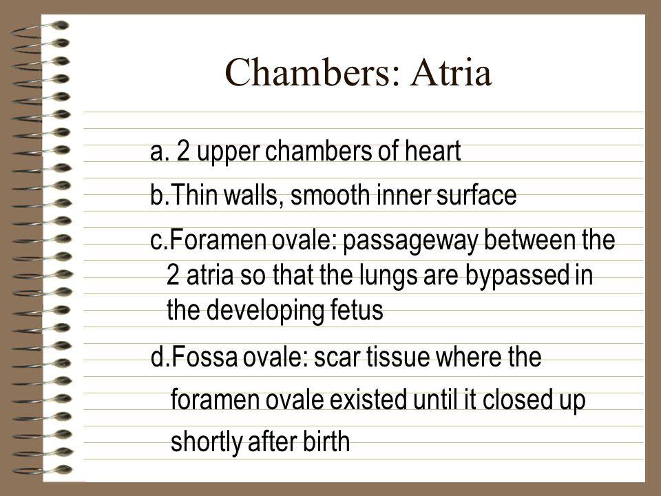 Chambers: Atria a. 2 upper chambers of heart