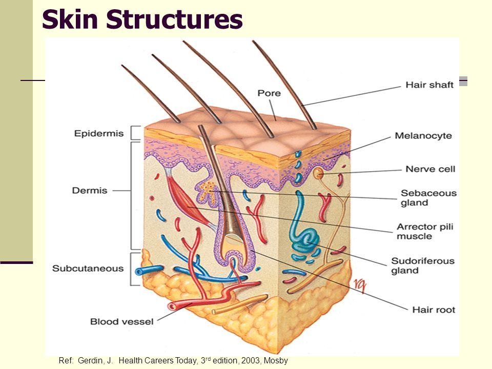Skin Structures Related structures include sebaceous glands (oil glands), sweat glands, hair and nails.