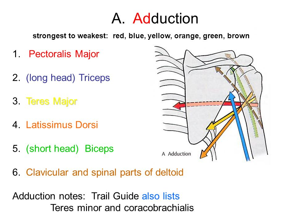A. Adduction 1. Pectoralis Major 2. (long head) Triceps 3. Teres Major