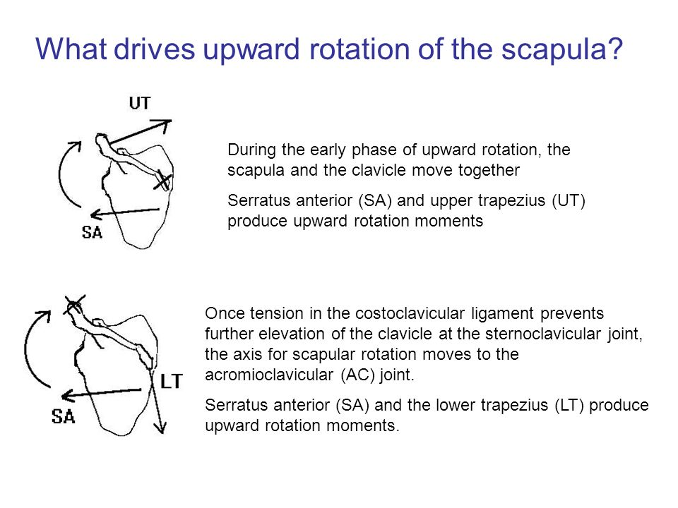 What drives upward rotation of the scapula