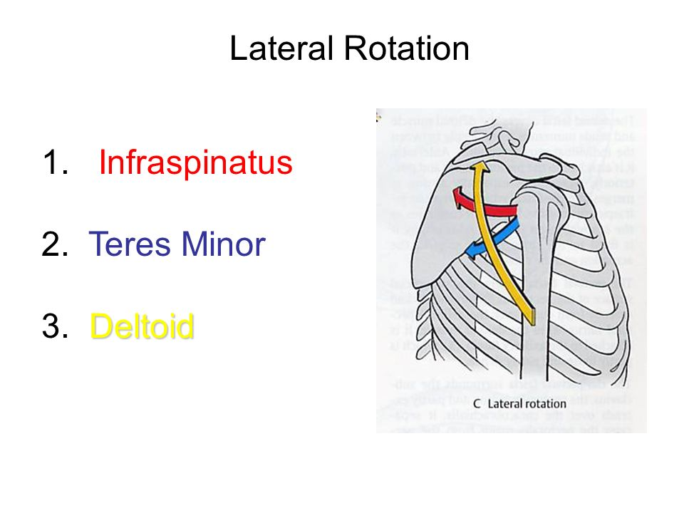Lateral Rotation 1. Infraspinatus 2. Teres Minor 3. Deltoid