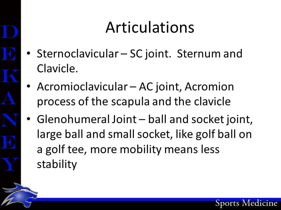 Articulations Sternoclavicular – SC joint. Sternum and Clavicle.