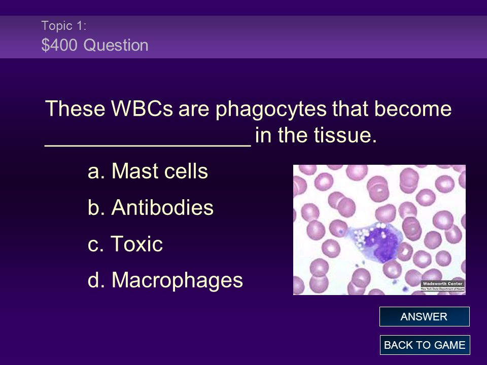 These WBCs are phagocytes that become _________________ in the tissue.