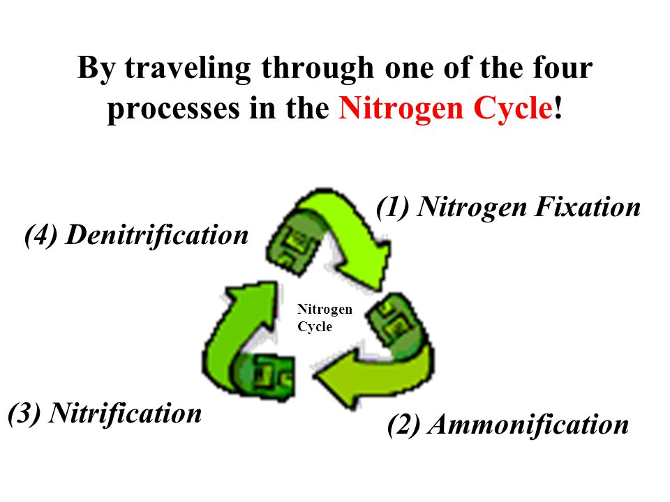 By traveling through one of the four processes in the Nitrogen Cycle!