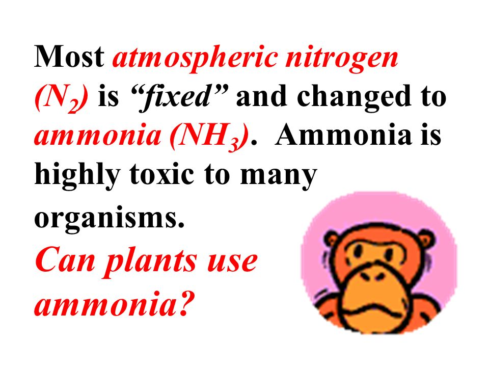 Most atmospheric nitrogen (N2) is fixed and changed to ammonia (NH3)