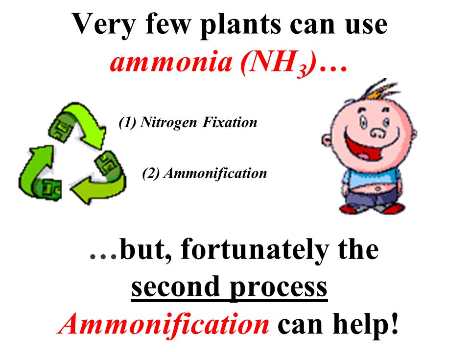 Very few plants can use ammonia (NH3)… …but, fortunately the second process Ammonification can help!