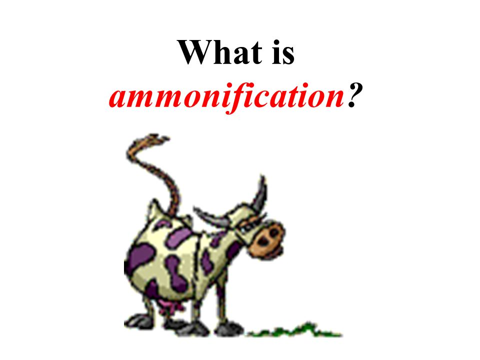 What is ammonification