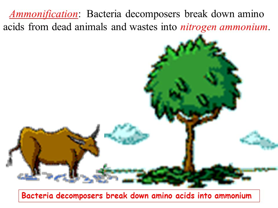 Ammonification: Bacteria decomposers break down amino acids from dead animals and wastes into nitrogen ammonium.