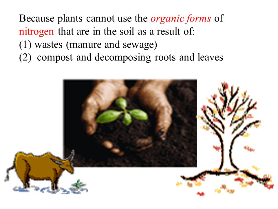 Because plants cannot use the organic forms of nitrogen that are in the soil as a result of: (1) wastes (manure and sewage) (2) compost and decomposing roots and leaves