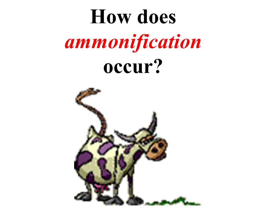 How does ammonification occur