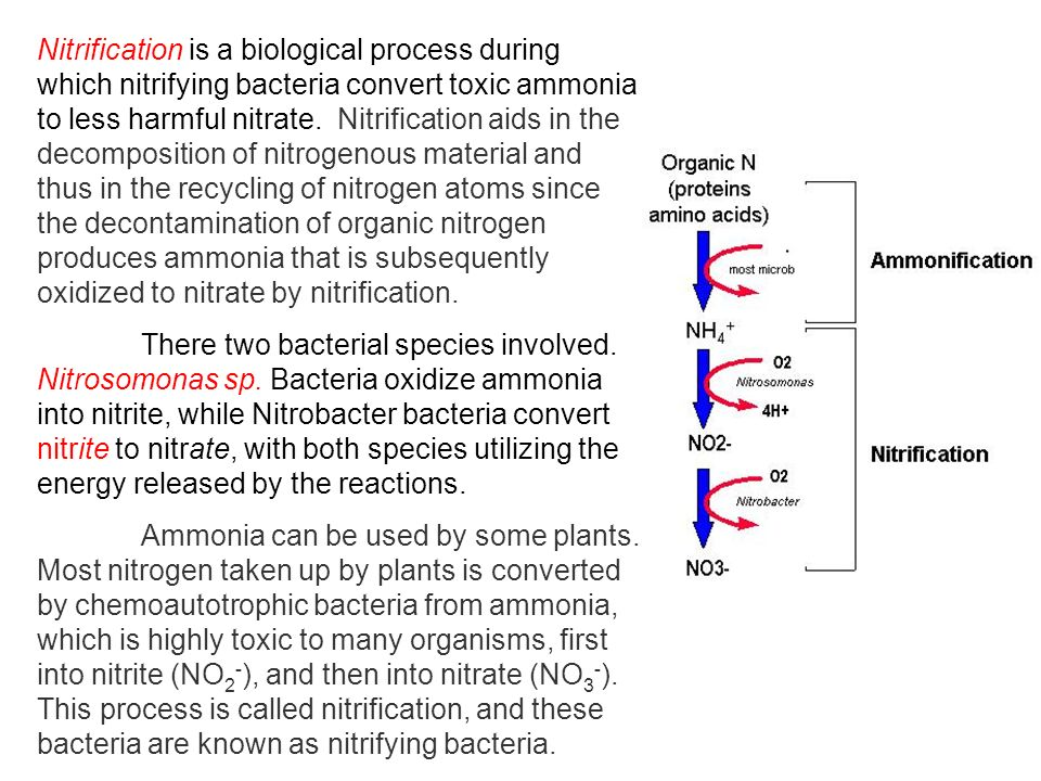 Nitrification is a biological process during which nitrifying bacteria convert toxic ammonia to less harmful nitrate. Nitrification aids in the decomposition of nitrogenous material and thus in the recycling of nitrogen atoms since the decontamination of organic nitrogen produces ammonia that is subsequently oxidized to nitrate by nitrification.