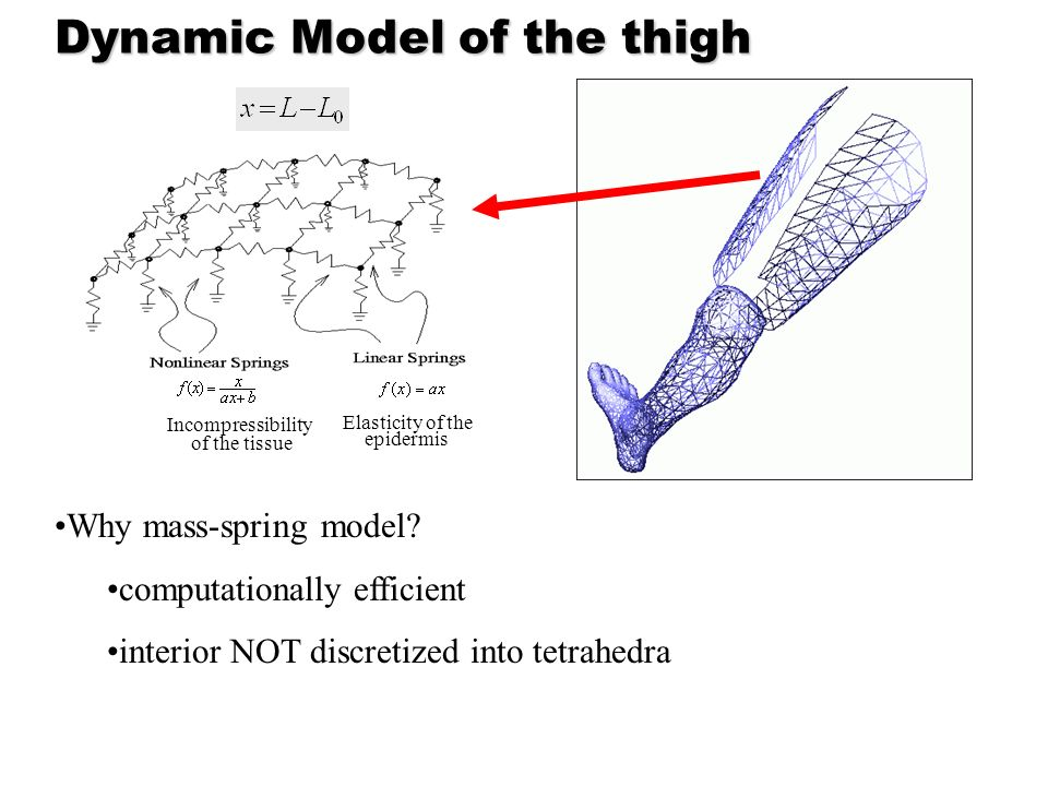 Dynamic Model of the thigh