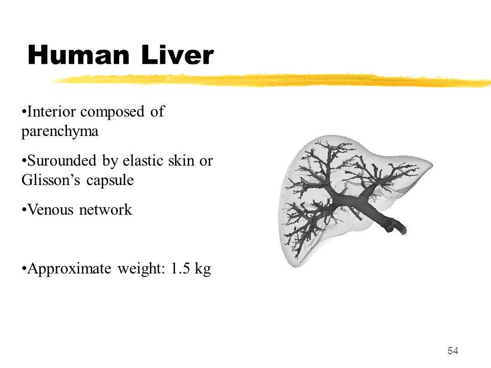 Human Liver Interior composed of parenchyma