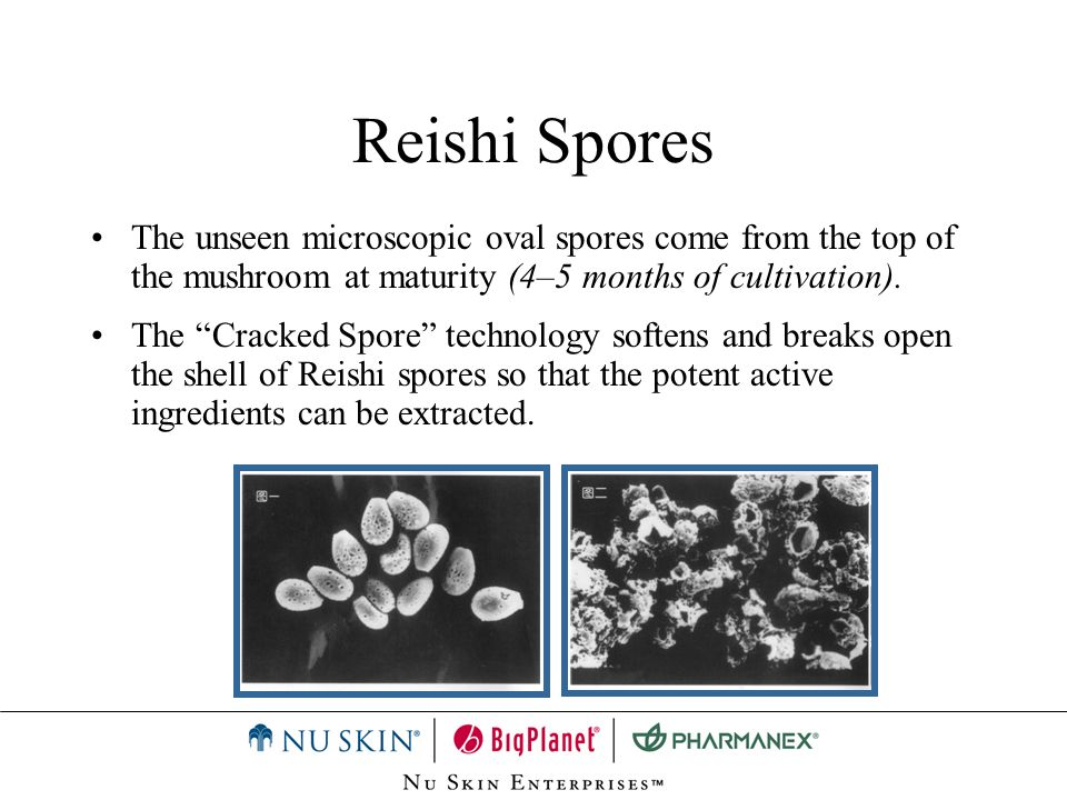 Reishi Spores The unseen microscopic oval spores come from the top of the mushroom at maturity (4–5 months of cultivation).