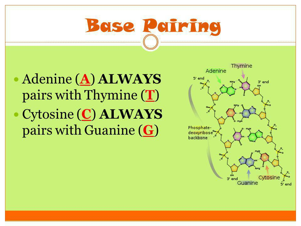 Base Pairing Adenine (A) ALWAYS pairs with Thymine (T)