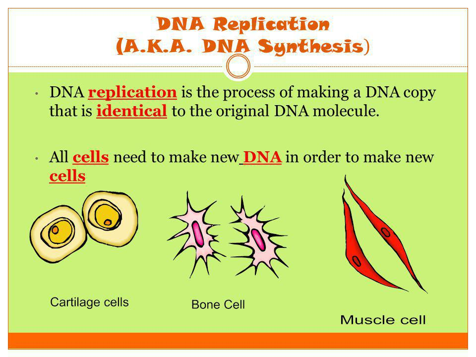DNA Replication (A.K.A. DNA Synthesis)