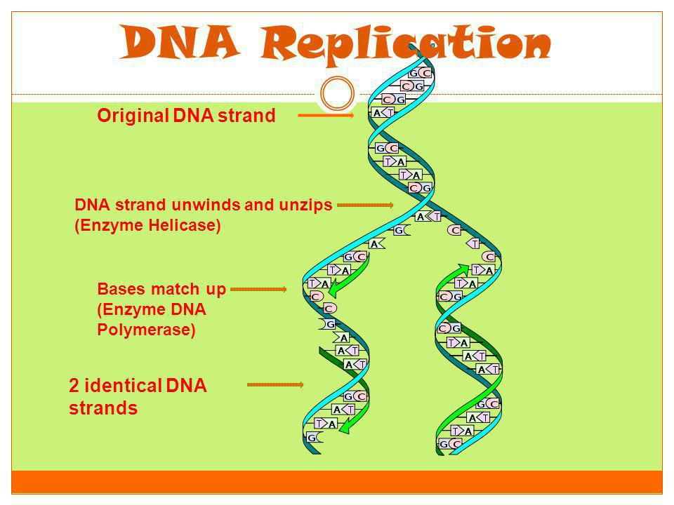 DNA Replication Original DNA strand 2 identical DNA strands