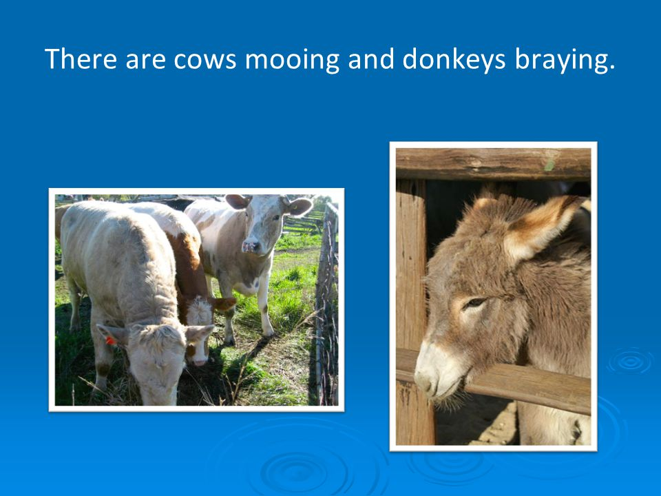 There are cows mooing and donkeys braying.