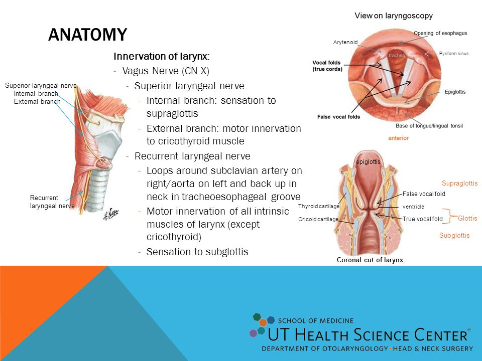 Anatomy Innervation of larynx: Vagus Nerve (CN X)