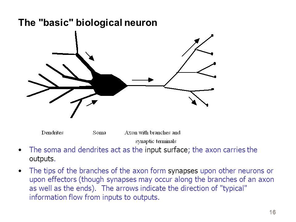 The basic biological neuron