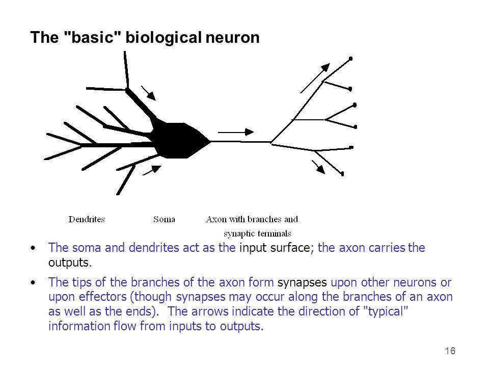 The basic biological neuron