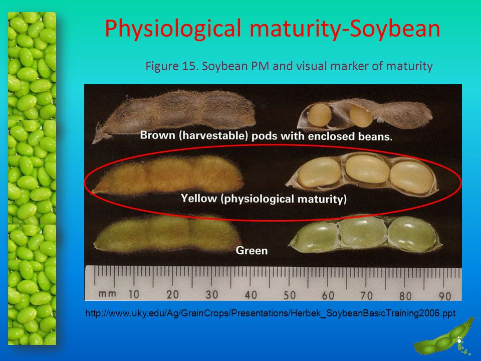 Physiological maturity-Soybean