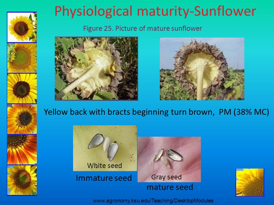 Physiological maturity-Sunflower