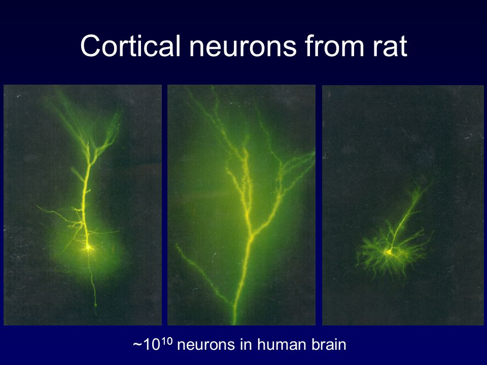 Cortical neurons from rat