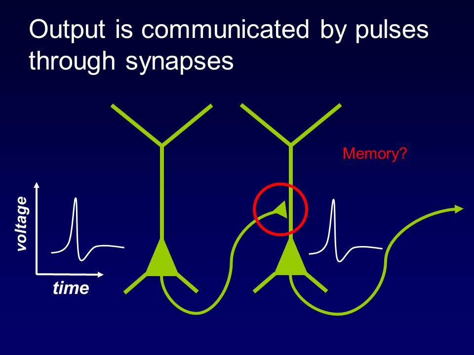 Output is communicated by pulses through synapses