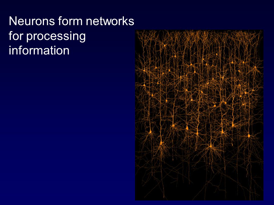 Neurons form networks for processing information