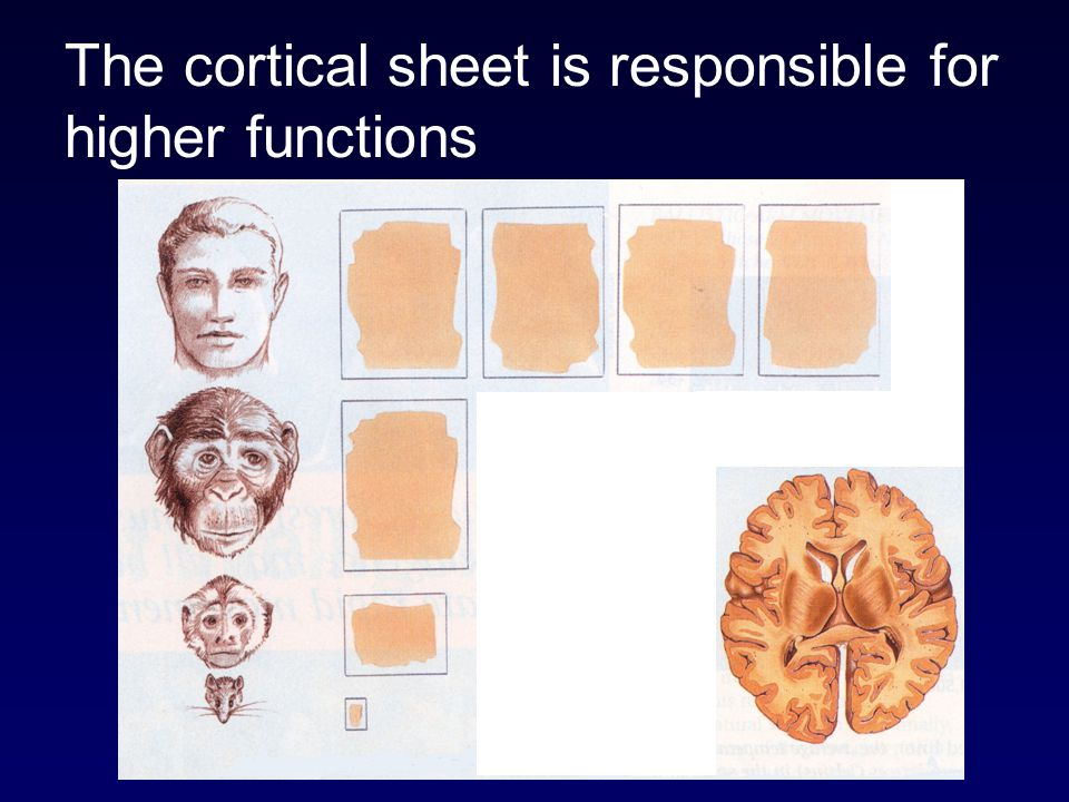 The cortical sheet is responsible for higher functions