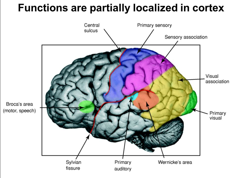Cortical structure is fairly uniform