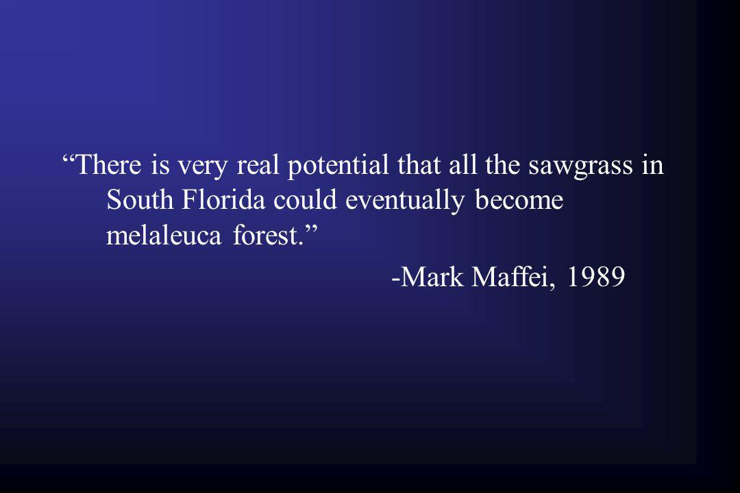 There is very real potential that all the sawgrass in South Florida could eventually become melaleuca forest.