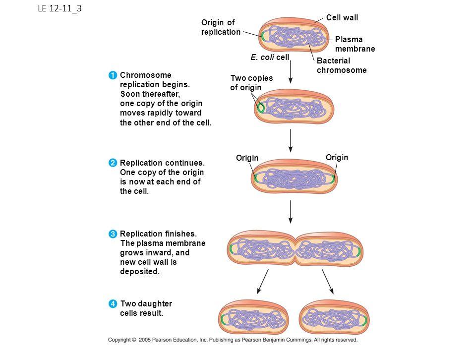 LE 12-11_3 Cell wall Origin of replication Plasma membrane