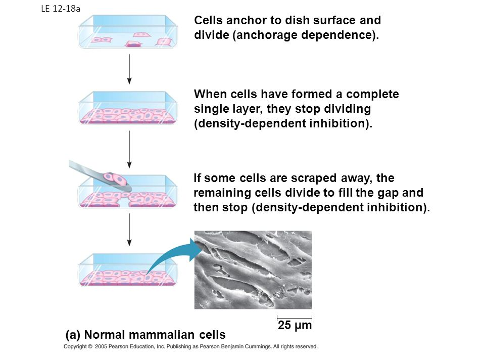 Cells anchor to dish surface and divide (anchorage dependence).
