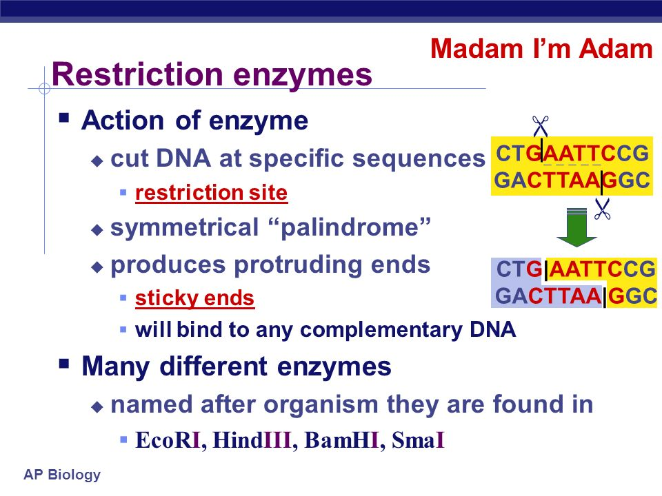 Restriction enzymes Madam I'm Adam Action of enzyme