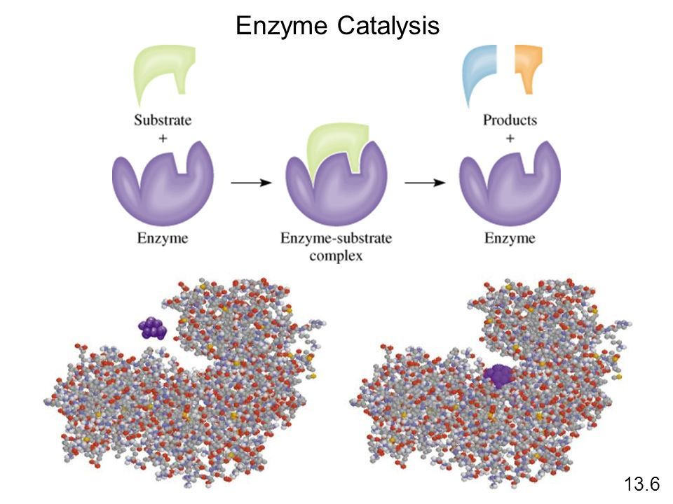 Enzyme Catalysis 13.6