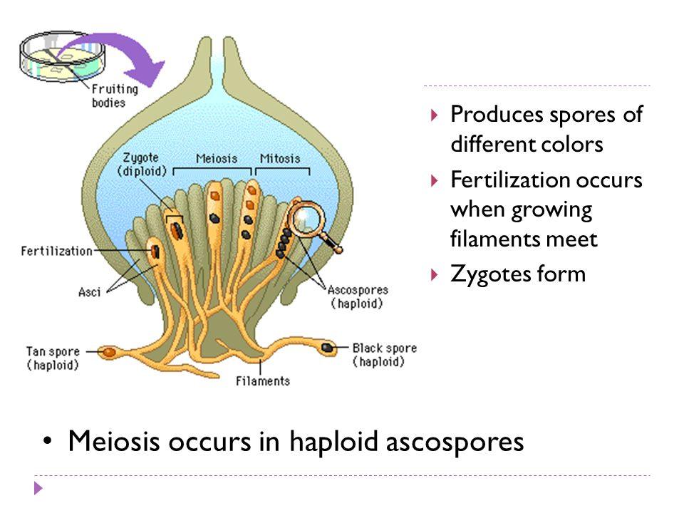 Meiosis occurs in haploid ascospores