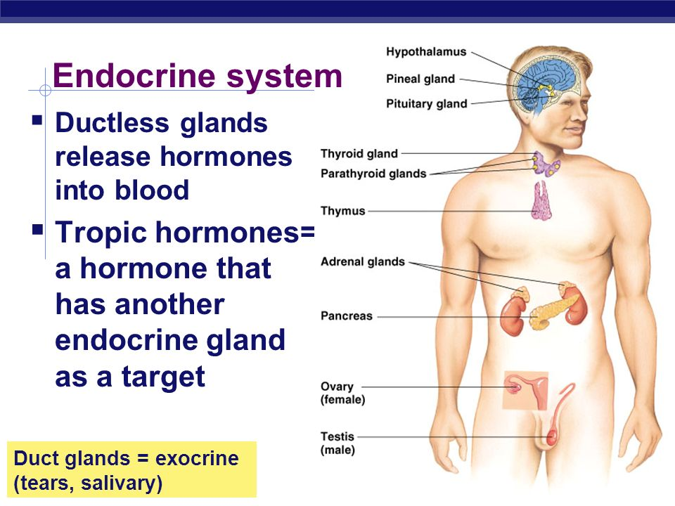Endocrine system Ductless glands release hormones into blood.