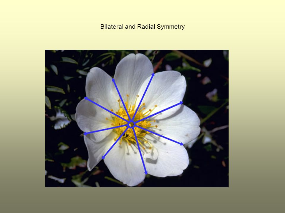 Bilateral and Radial Symmetry
