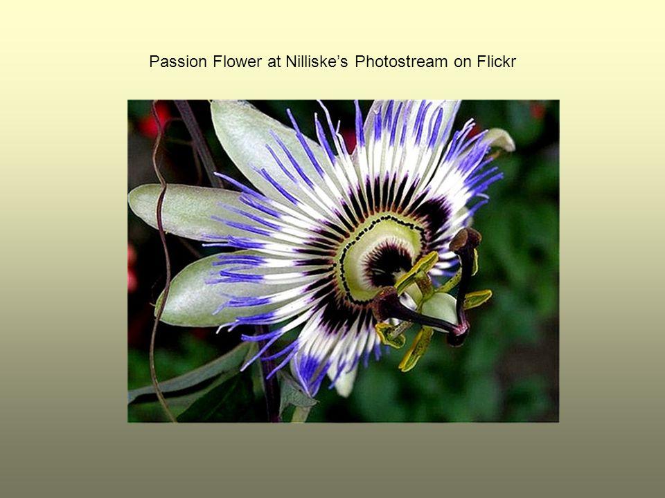 Passion Flower at Nilliske's Photostream on Flickr