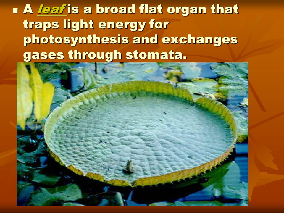 A leaf is a broad flat organ that traps light energy for photosynthesis and exchanges gases through stomata.
