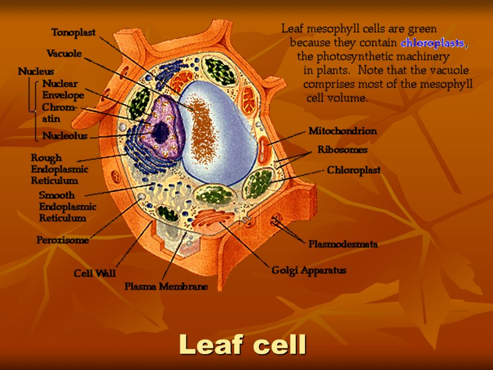 Leaf cell